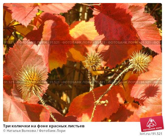 Три колючки на фоне красных листьев, фото № 91521, снято 2 октября 2007 г. (c) Наталья Волкова / Фотобанк Лори