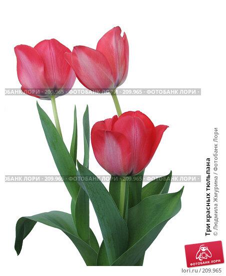 Три красных тюльпана, фото № 209965, снято 26 февраля 2008 г. (c) Людмила Жмурина / Фотобанк Лори