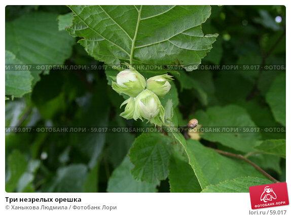 Три незрелых орешка, фото № 59017, снято 7 июля 2007 г. (c) Ханыкова Людмила / Фотобанк Лори