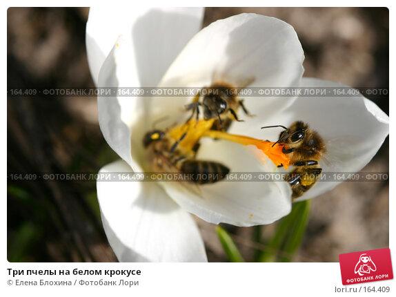 Три пчелы на белом крокусе, фото № 164409, снято 27 марта 2007 г. (c) Елена Блохина / Фотобанк Лори