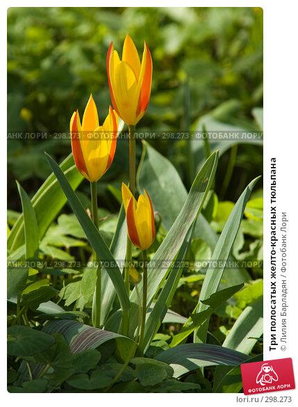 Три полосатых желто-красных тюльпана, фото № 298273, снято 24 апреля 2008 г. (c) Лилия Барладян / Фотобанк Лори