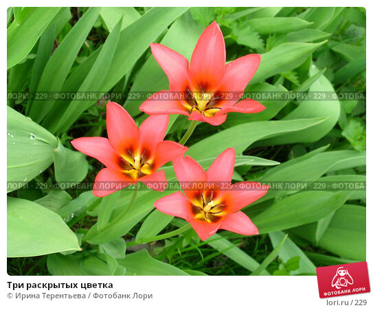 Три раскрытых цветка, эксклюзивное фото № 229, снято 9 мая 2004 г. (c) Ирина Терентьева / Фотобанк Лори