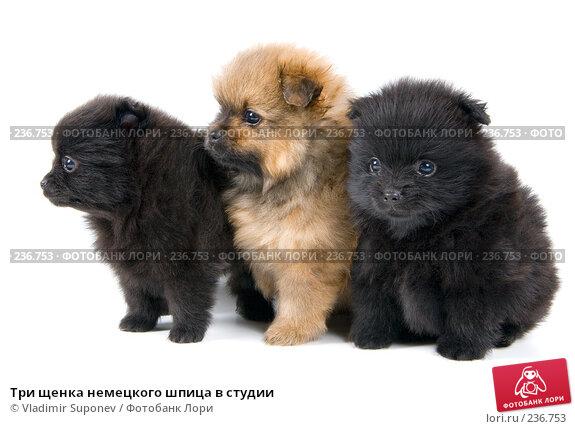 Три щенка немецкого шпица в студии, фото № 236753, снято 16 марта 2008 г. (c) Vladimir Suponev / Фотобанк Лори