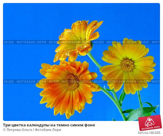 Три цветка календулы на темно синем фоне, фото № 60025, снято 6 июля 2007 г. (c) Петрова Ольга / Фотобанк Лори