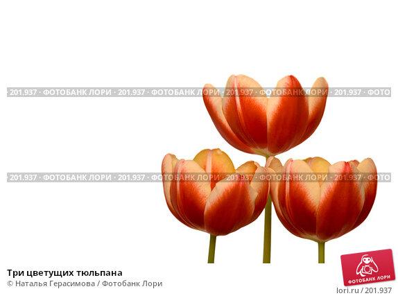 Три цветущих тюльпана, фото № 201937, снято 14 февраля 2008 г. (c) Наталья Герасимова / Фотобанк Лори