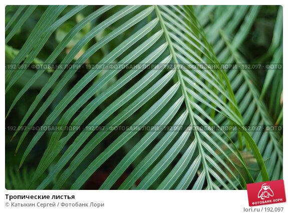 Тропические листья, фото № 192097, снято 5 января 2008 г. (c) Катыкин Сергей / Фотобанк Лори