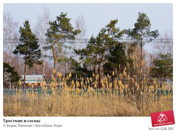 Тростник и сосны, фото № 228293, снято 8 марта 2008 г. (c) Борис Панасюк / Фотобанк Лори