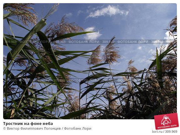 Тростник на фоне неба, фото № 309969, снято 11 октября 2007 г. (c) Виктор Филиппович Погонцев / Фотобанк Лори