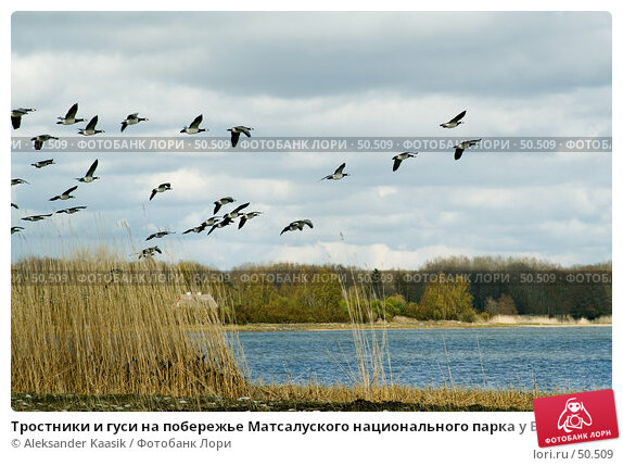 Тростники и гуси на побережье Матсалуского национального парка у Балтийского моря, фото № 50509, снято 25 июня 2017 г. (c) Aleksander Kaasik / Фотобанк Лори