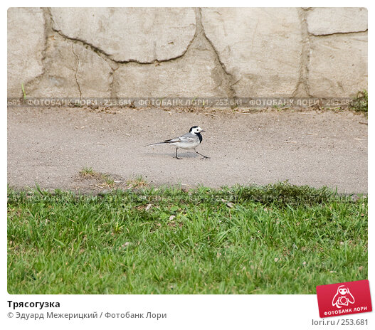 Купить «Трясогузка», фото № 253681, снято 12 апреля 2008 г. (c) Эдуард Межерицкий / Фотобанк Лори