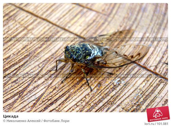 Купить «Цикада», фото № 101081, снято 22 августа 2007 г. (c) Николаенко Алексей / Фотобанк Лори