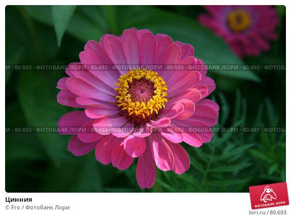 Купить «Цинния», фото № 80693, снято 30 августа 2007 г. (c) Fro / Фотобанк Лори