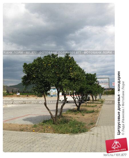 Цитрусовые деревья - мандарин, фото № 101877, снято 15 октября 2007 г. (c) Лада Иванова / Фотобанк Лори