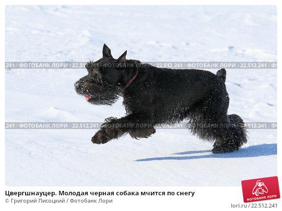 Купить «Цвергшнауцер. Молодая черная собака мчится по снегу», фото № 22512241, снято 31 марта 2016 г. (c) Григорий Писоцкий / Фотобанк Лори