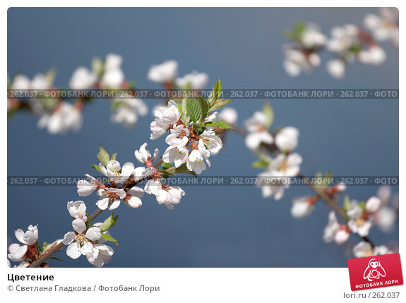 Купить «Цветение», фото № 262037, снято 19 апреля 2008 г. (c) Cветлана Гладкова / Фотобанк Лори