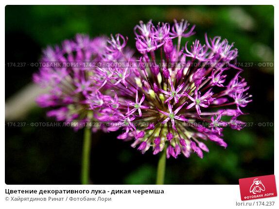 Цветение декоративного лука - дикая черемша, фото № 174237, снято 30 мая 2007 г. (c) Хайрятдинов Ринат / Фотобанк Лори