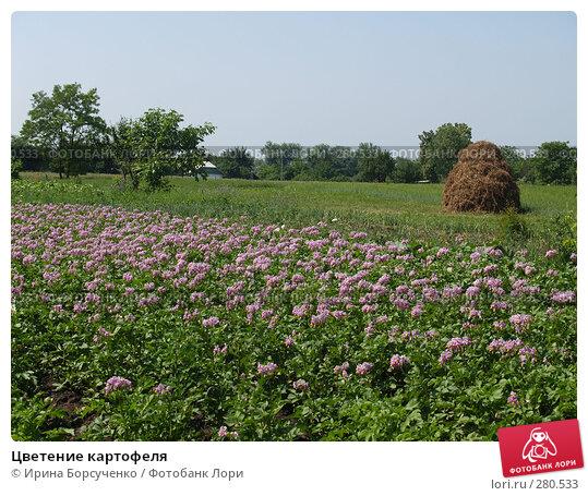 Цветение картофеля, фото № 280533, снято 17 июня 2007 г. (c) Ирина Борсученко / Фотобанк Лори