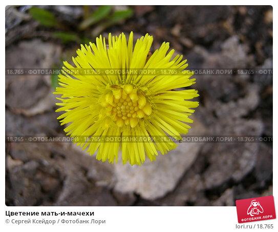 Цветение мать-и-мачехи, фото № 18765, снято 23 апреля 2006 г. (c) Сергей Ксейдор / Фотобанк Лори