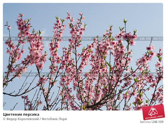 Цветение персика, фото № 248109, снято 10 апреля 2008 г. (c) Федор Королевский / Фотобанк Лори