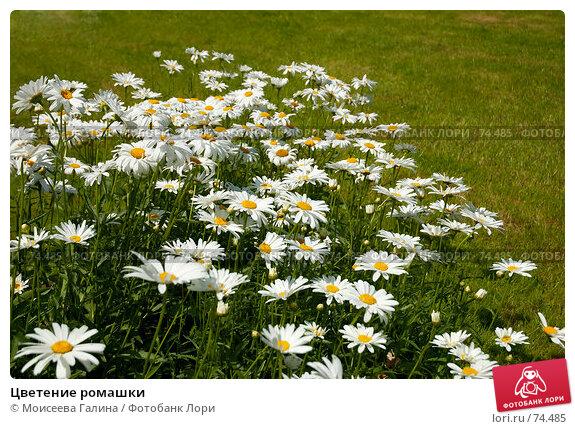Купить «Цветение ромашки», фото № 74485, снято 23 июля 2007 г. (c) Моисеева Галина / Фотобанк Лори