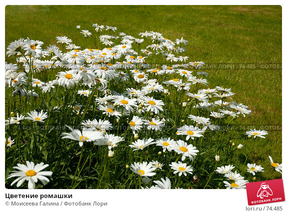 Цветение ромашки, фото № 74485, снято 23 июля 2007 г. (c) Моисеева Галина / Фотобанк Лори