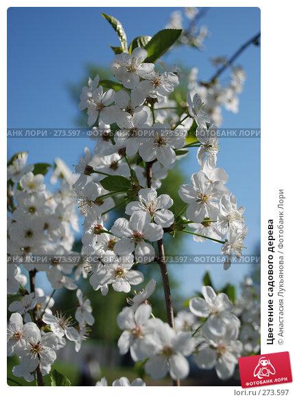 Цветение садового дерева, фото № 273597, снято 3 мая 2008 г. (c) Анастасия Лукьянова / Фотобанк Лори