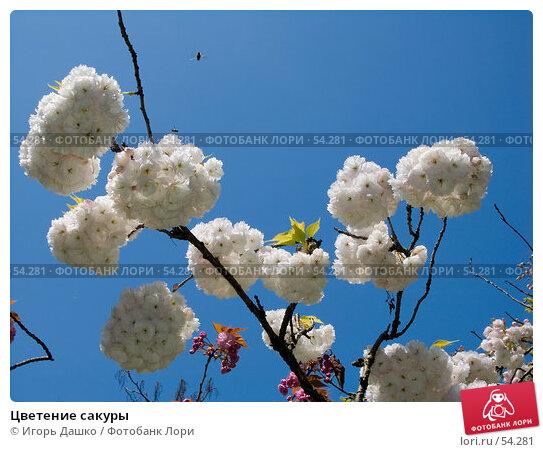 Цветение сакуры, фото № 54281, снято 24 апреля 2007 г. (c) Игорь Дашко / Фотобанк Лори