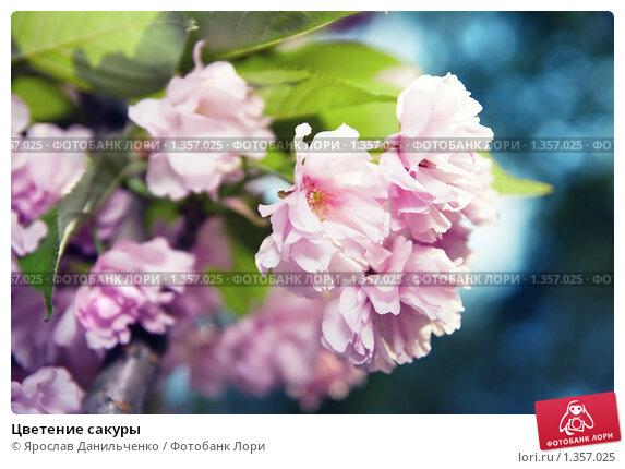 Купить «Цветение сакуры», фото № 1357025, снято 6 мая 2009 г. (c) Ярослав Данильченко / Фотобанк Лори