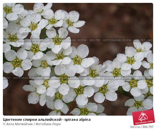 Цветение спиреи альпийской - spiraea alpina, фото № 300797, снято 4 июня 2006 г. (c) Алла Матвейчик / Фотобанк Лори