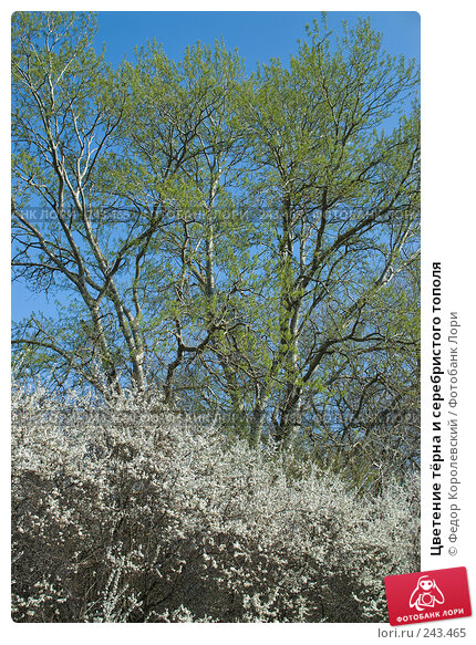 Цветение тёрна и серебристого тополя, фото № 243465, снято 4 апреля 2008 г. (c) Федор Королевский / Фотобанк Лори