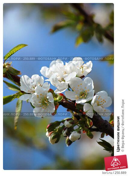 Цветение вишни, фото № 250889, снято 13 апреля 2008 г. (c) Вера Франц / Фотобанк Лори