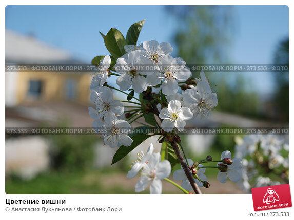 Цветение вишни, фото № 273533, снято 3 мая 2008 г. (c) Анастасия Лукьянова / Фотобанк Лори