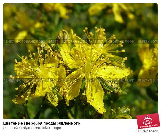 Цветение зверобоя продырявленного, фото № 18657, снято 7 июля 2006 г. (c) Сергей Ксейдор / Фотобанк Лори