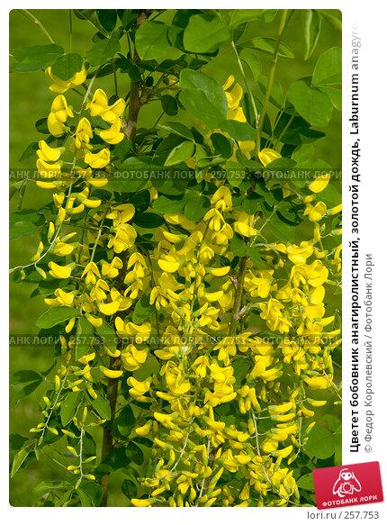 Цветет бобовник анагиролистный, золотой дождь, Laburnum anagyroides, фото № 257753, снято 18 апреля 2008 г. (c) Федор Королевский / Фотобанк Лори