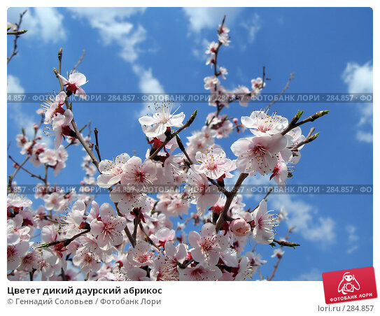 Цветет дикий даурский абрикос, фото № 284857, снято 14 мая 2008 г. (c) Геннадий Соловьев / Фотобанк Лори