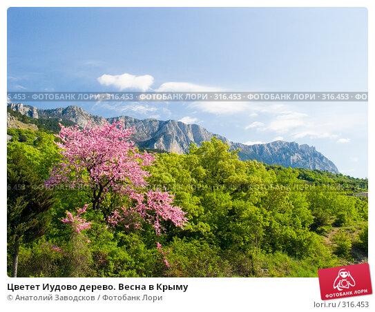 Цветет Иудово дерево. Весна в Крыму, фото № 316453, снято 9 мая 2005 г. (c) Анатолий Заводсков / Фотобанк Лори