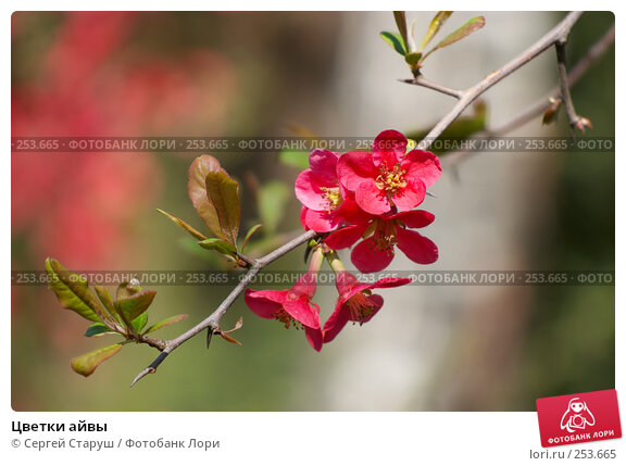Цветки айвы, фото № 253665, снято 13 апреля 2008 г. (c) Сергей Старуш / Фотобанк Лори