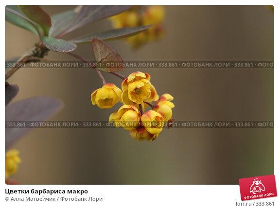 Цветки барбариса макро, фото № 333861, снято 13 июня 2008 г. (c) Алла Матвейчик / Фотобанк Лори