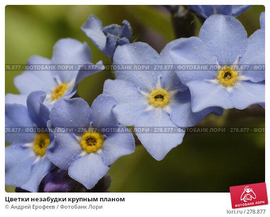 Цветки незабудки крупным планом, фото № 278877, снято 9 мая 2008 г. (c) Андрей Ерофеев / Фотобанк Лори
