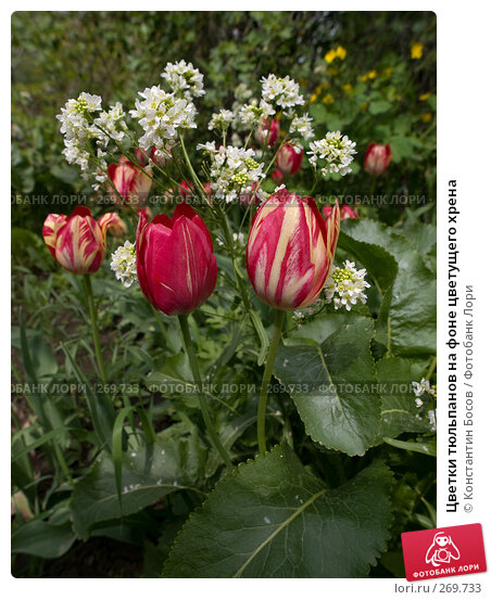 Цветки тюльпанов на фоне цветущего хрена, фото № 269733, снято 29 марта 2017 г. (c) Константин Босов / Фотобанк Лори