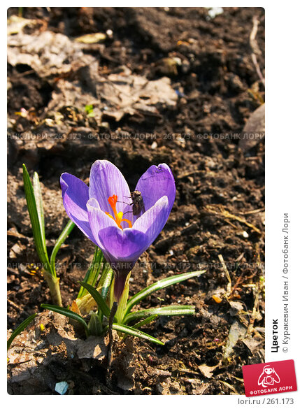 Цветок, фото № 261173, снято 31 марта 2008 г. (c) Куракевич Иван / Фотобанк Лори