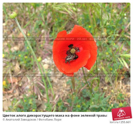 Цветок алого дикорастущего мака на фоне зеленой травы, фото № 255661, снято 20 мая 2004 г. (c) Анатолий Заводсков / Фотобанк Лори