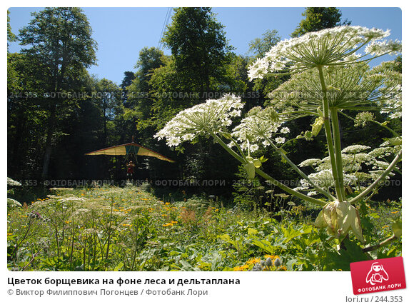 Цветок борщевика на фоне леса и дельтаплана, фото № 244353, снято 21 июля 2007 г. (c) Виктор Филиппович Погонцев / Фотобанк Лори