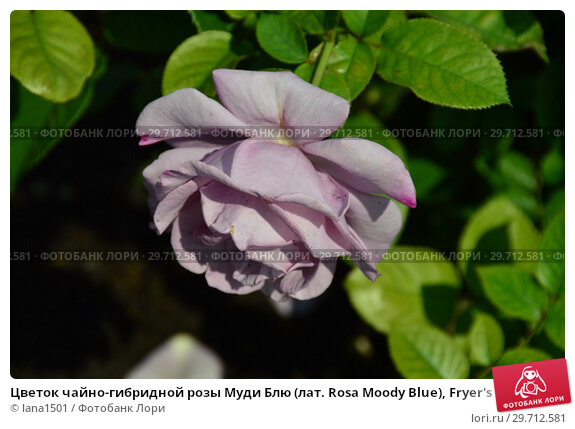 Купить «Цветок чайно-гибридной розы Муди Блю (лат. Rosa Moody Blue), Fryer's Roses (Розы Фраера), Великобритания 2008», эксклюзивное фото № 29712581, снято 27 июля 2015 г. (c) lana1501 / Фотобанк Лори