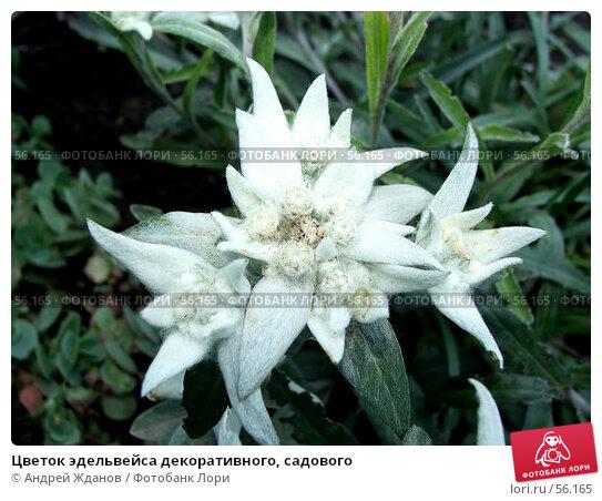 Купить «Цветок эдельвейса декоративного, садового», фото № 56165, снято 23 июня 2007 г. (c) Андрей Жданов / Фотобанк Лори