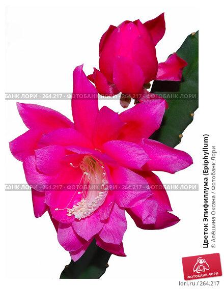 Цветок Эпифиллума (Epiphyllum), эксклюзивное фото № 264217, снято 30 марта 2008 г. (c) Алёшина Оксана / Фотобанк Лори