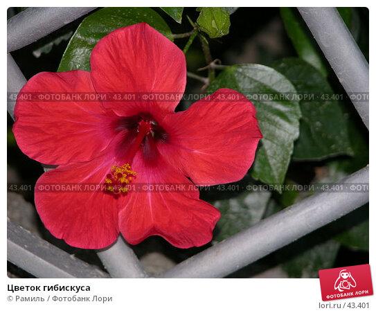 Цветок гибискуса, фото № 43401, снято 31 июля 2006 г. (c) Рамиль / Фотобанк Лори