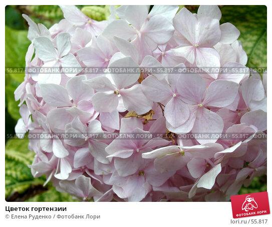 Цветок гортензии, фото № 55817, снято 6 сентября 2006 г. (c) Елена Руденко / Фотобанк Лори