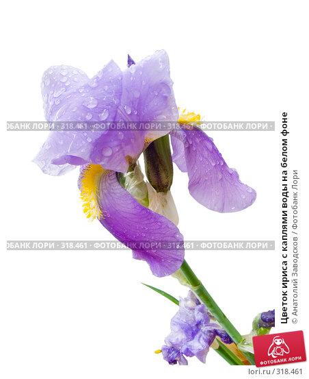 Цветок ириса с каплями воды на белом фоне, фото № 318461, снято 28 мая 2006 г. (c) Анатолий Заводсков / Фотобанк Лори