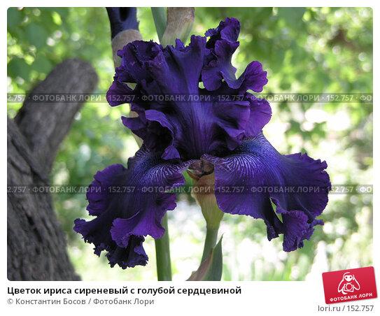 Цветок ириса сиреневый с голубой сердцевиной, фото № 152757, снято 26 мая 2007 г. (c) Константин Босов / Фотобанк Лори